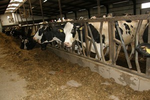 Ocena żywienia krów mlecznych od kwietnia w RW-11