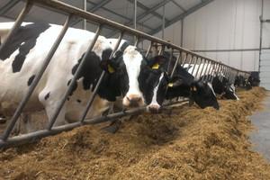 Zbyt szybka eksploatacja krów pierwiastek