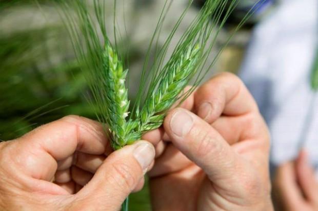 Zastosowanie mieszaniny fungicydów podstawą dobrego plonowania