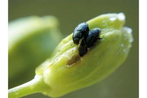 PLENUM 500 WG nowy insektycyd do zwalczania słodyszka rzepakowego