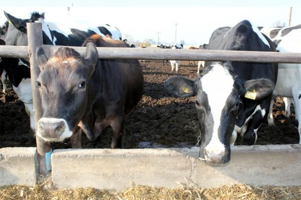 Krzyżowanie międzyrasowe bydła mlecznego