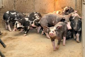 Energia u rosnących świń