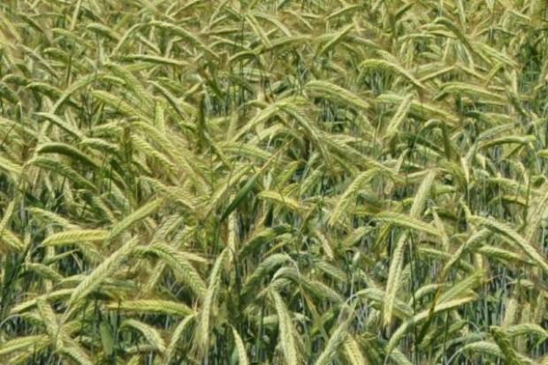 Ceny pszenicy mocno w górę