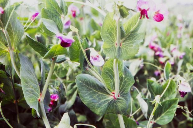 Uprawa peluszki - zasady uprawy