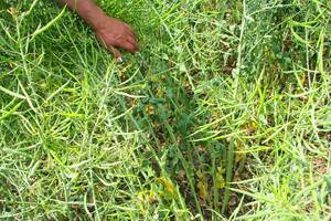 Herbicydem w kiłę