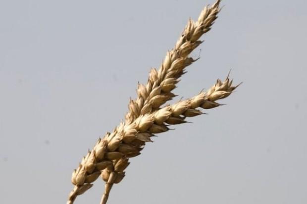ARR: W czerwcu pszenica po 1000-1050 zł/t