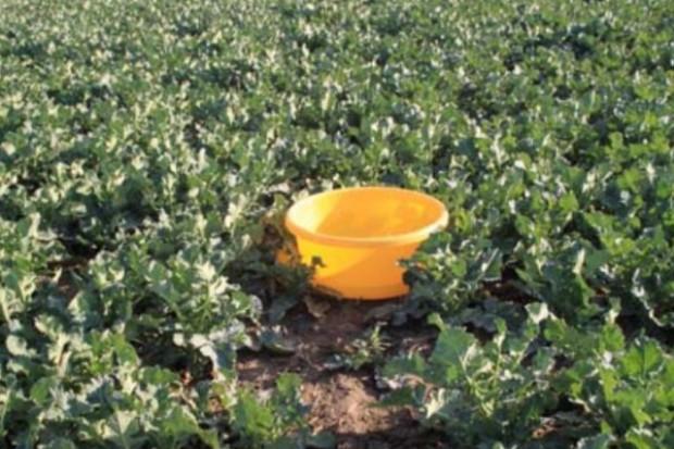Żółte naczynia pozwolą ocenić liczbę szkodników