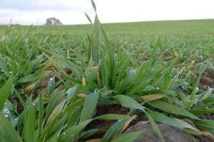 Na Podlasiu i Lubelszczyźnie plony zbóż ozimych niższe o 5 proc.