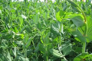 Rośliny wysokobiałkowe jako uprawy ekologiczne
