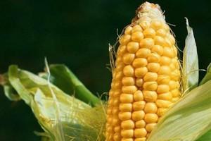 Kukurydziany magiczny trójkąt