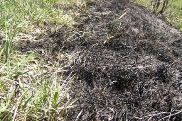 Śmiertelna ofiara wypalania traw