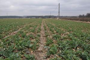 Poprawki herbicydowe w rzepaku