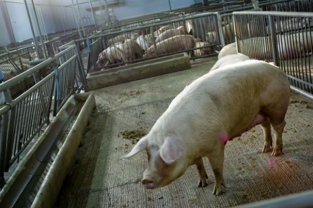 """Ponad 1700 kontroli IW po """"aferze mięsnej"""""""