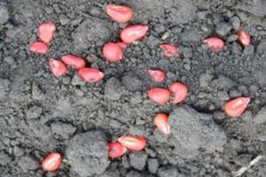 Na Podkarpaciu trwają siewy kukurydzy i buraków