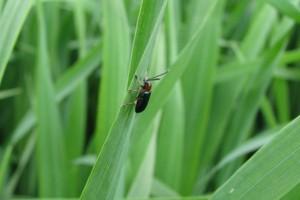 Chrząszczy skrzypionki nie zwalcza się chemicznie