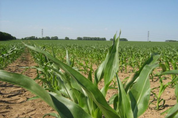 Kukurydza czysta od początku