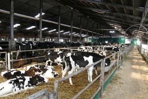 Zahartowane cielęta – bardziej odporne krowy