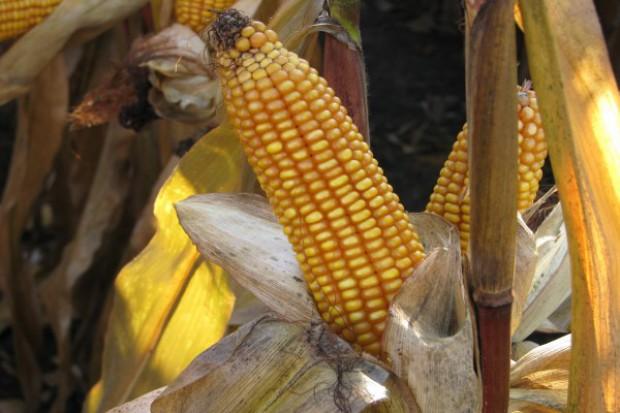 GMO może wrócić?