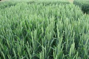Plantacjom pszenicy ozimej zagraża pryszczarek zbożowiec