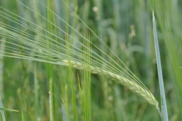 Skuteczność działania fungicydów w chorobach jęczmienia według HGCA