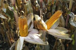 Silny wzrost ceny kukurydzy