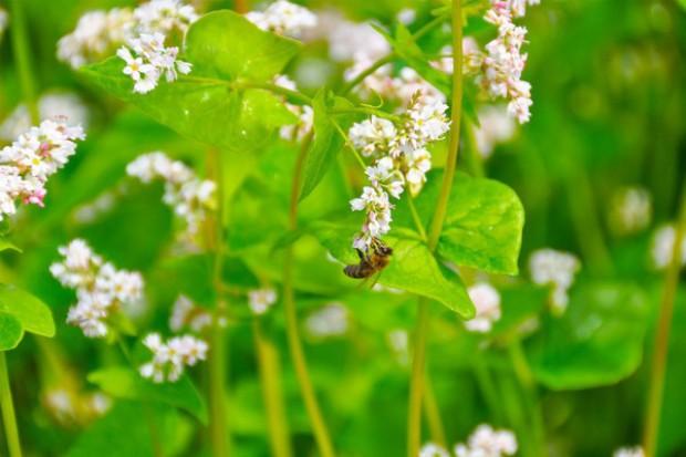 PSOR: Zakaz aplikacji neonikotynoidów nie rozwiąże problemów z pszczołami