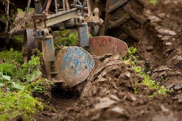 Przyczyną zaorywania plantacji – uszkodzenia mrozowe i wyprzenia