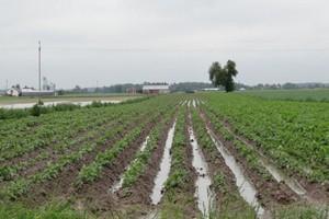 Ziemniaki zaczną zwierać rzędy i będzie potrzebny zabieg fungicydowy