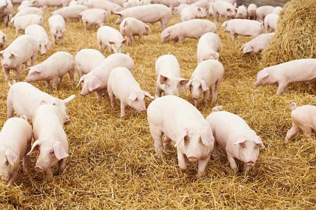 Za naszą sprawą spada produkcja wieprzowiny w UE