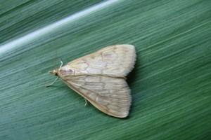 Motyle omacnicy w uprawach prowadzonych w monokulturze