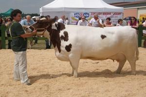 Rodzima rasa krów na wystawie