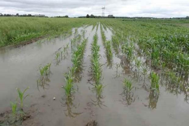 Uprawy stoją miejscami w wodzie