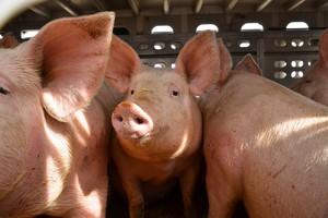 Litwa wstrzymuje import świń z Białorusi