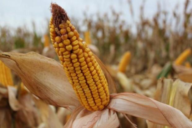 Kukurydza w Chicago równa do słabszych