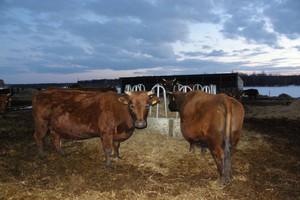 Dokarmić krowy na pastwisku