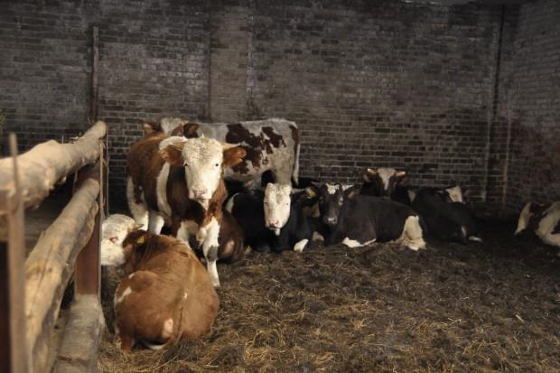 Nadal stabilnie w skupach bydła