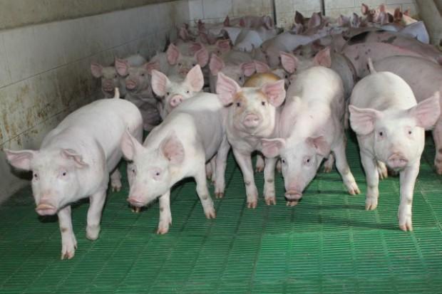 Spadek eksportu unijnej wieprzowiny