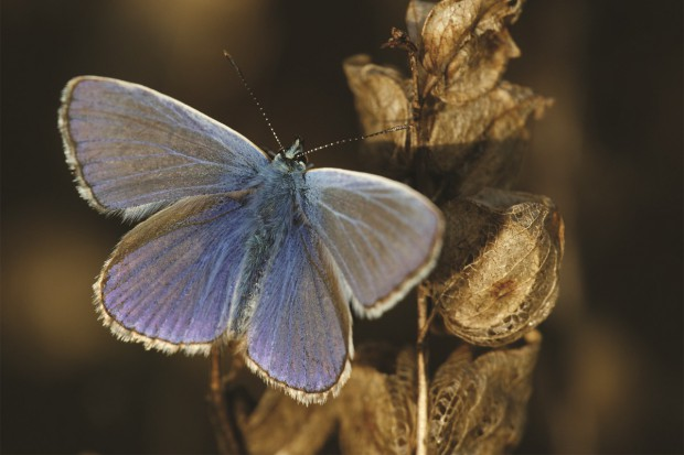Intensywne rolnictwo zagraża motylom