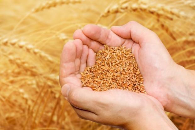 Ceny zbóż niższe o połowę