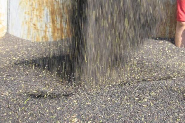 PiS: zrekompensować rolnikom straty wynikające z niskich cen rzepaku