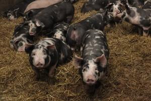 Kurczy się produkcja krajowej wieprzowiny