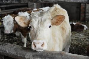 W skupach bydła nadal bez zmian