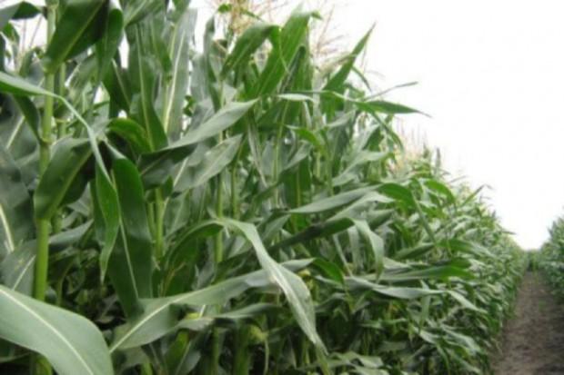 Kukurydza wygląda ładnie