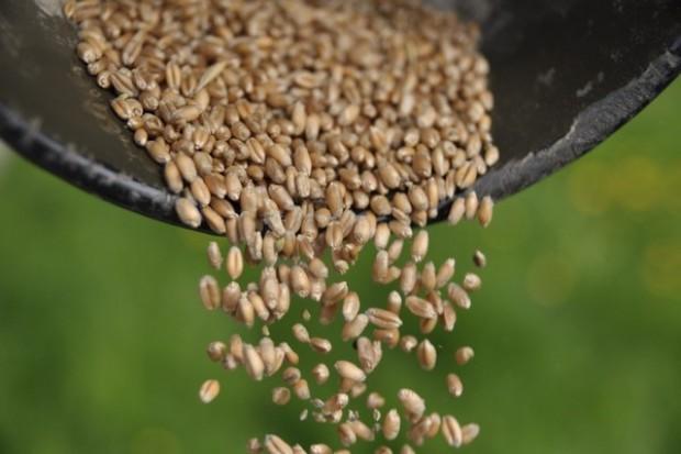 Tańszy kwalifikowany materiał siewny zbóż
