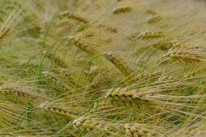 Duże wzrosty cen zbóż