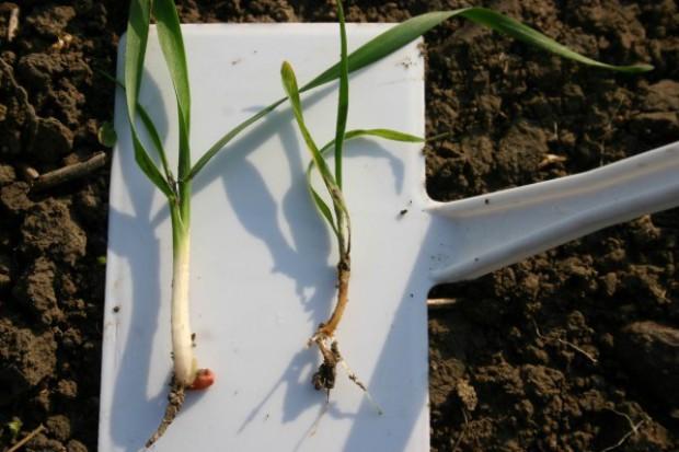 Podstawowe choroby roślin zbożowych zwalczane przez zaprawienie ziarna