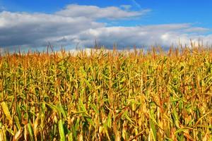 Resort rolnictwa: Monitorujemy pola pod kątem GMO