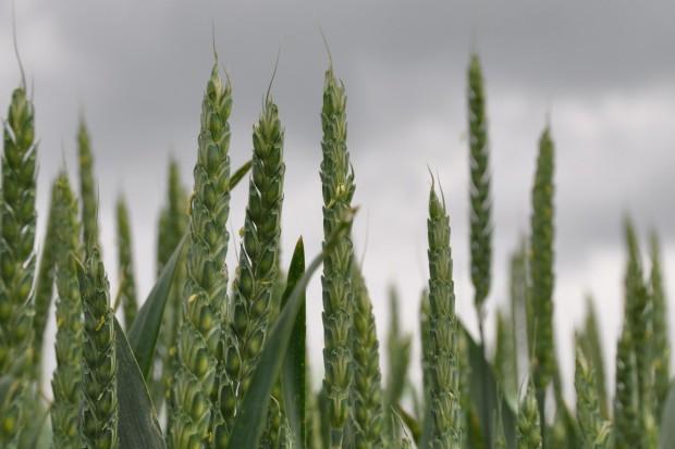 Chcą większej kontroli upraw GMO