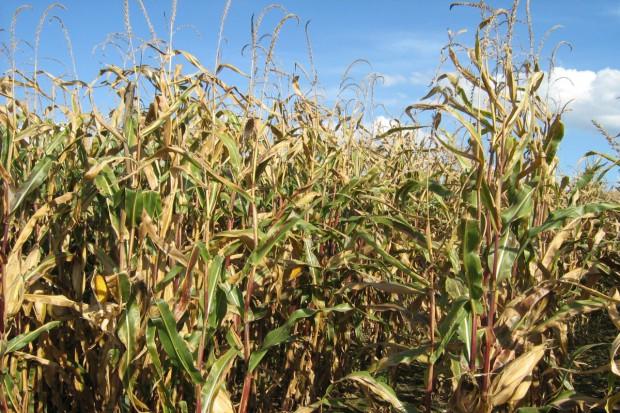 Zbiory kukurydzy mniejsze z powodu pogody