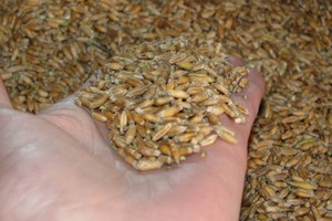 W skupach cena zbóż pnie się w górę